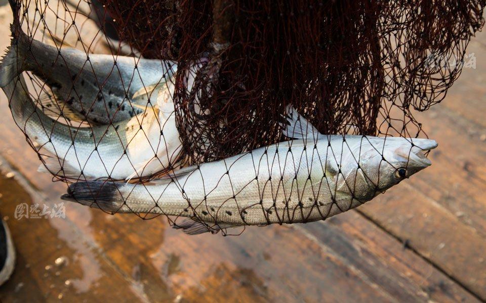 出海 渔夫/杨师傅今天没有出海,傍晚在岸边的渔船上撒网捕捉涨潮时来的鱼...